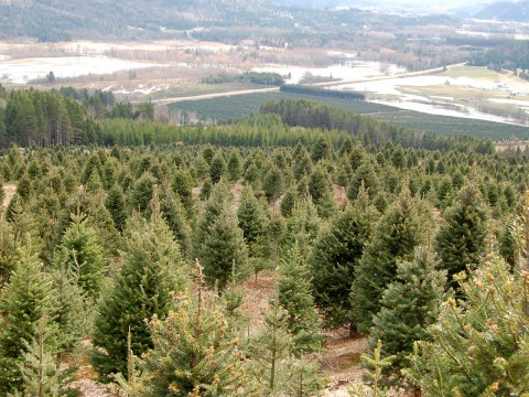 Christmas trees grower from top of the mountain
