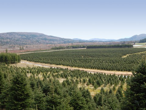 Row of christmas trees production