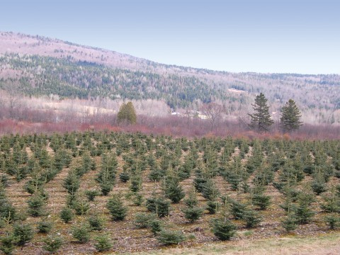 Young christmas trees on bottom of the mountain